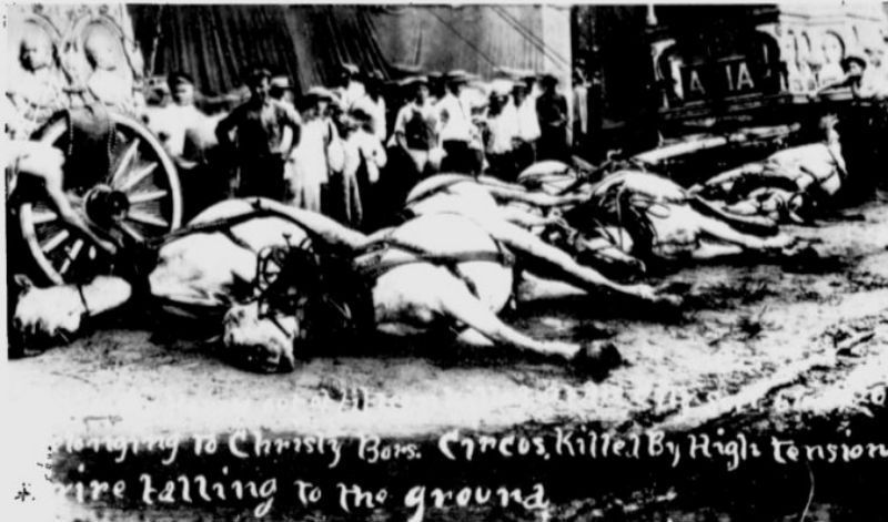 vintage black and white photo of six dead white horses attached to a circus wagon