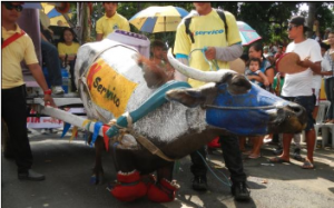 Filipino swamp buffalo kneeling during a parade in elaborate decorations.