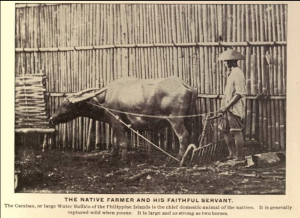 Filipino man with a carabao plowing his land.